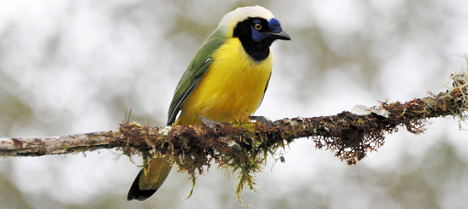 Green Jay Photo Gallery