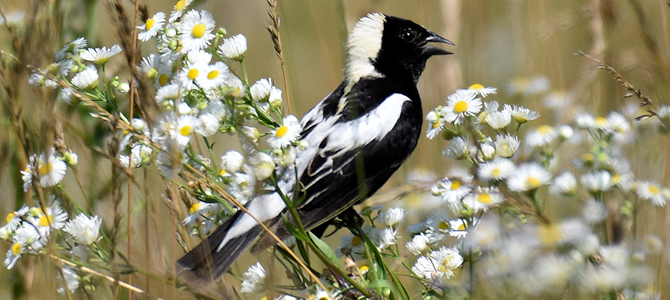 How Do You Say Bobolink?