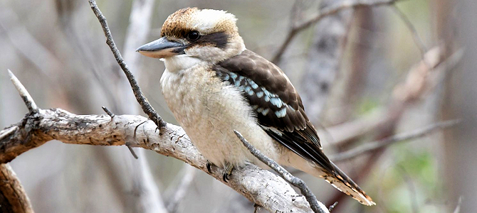Laughing Kookaburra Photo Gallery