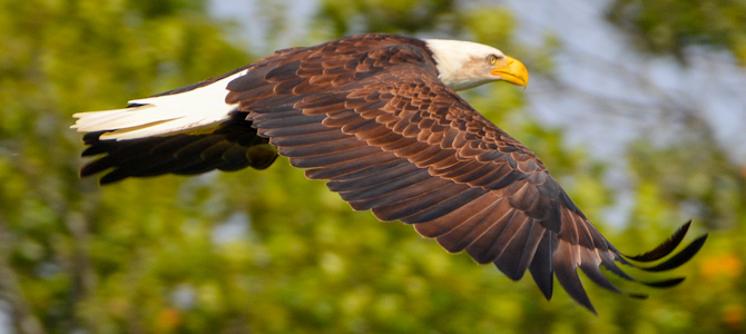 Discover the Bald Eagle