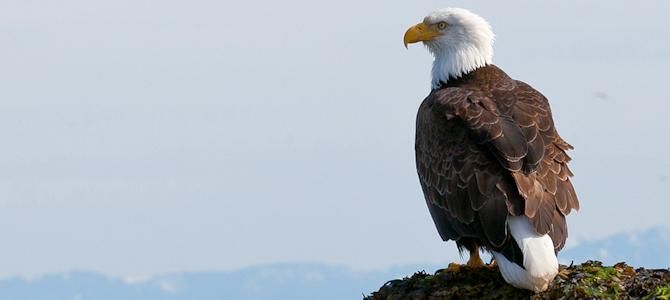 Bald Eagle Photo Gallery