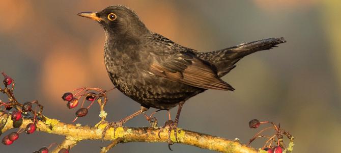 Eurasian Blackbird Photo Gallery