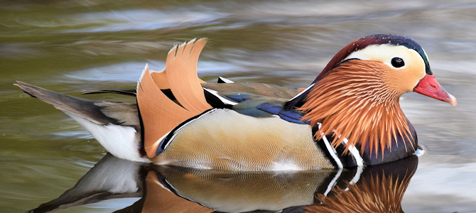 Discover the Mandarin Duck