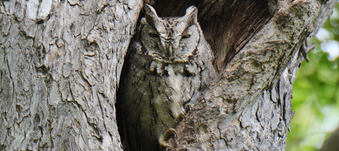 Discover the Eastern Screech-Owl