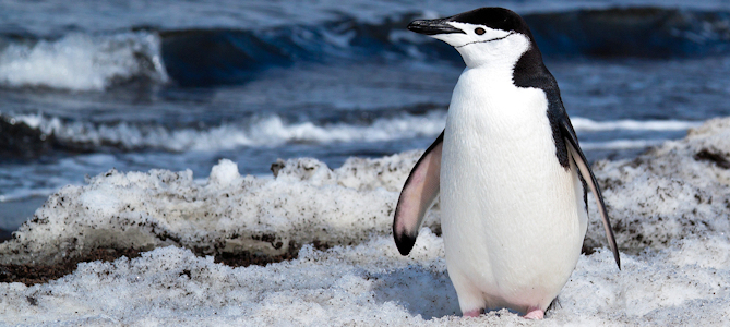 Discover the Chinstrap Penguin