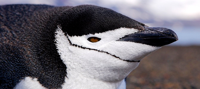 Chinstrap Penguin Photo Gallery