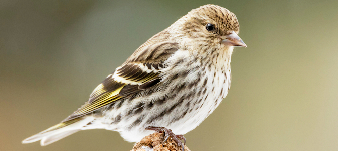Discover the Pine Siskin