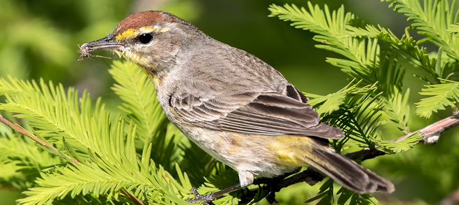 Discover the Palm Warbler