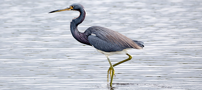 Tricolored Heron Photo Gallery